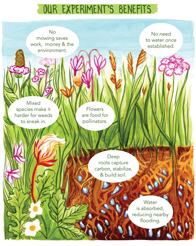 Title: Our experiment's benefits. Image depicts a close up of a lawn height mixed variety of species and a root & water-filled soil profile. Descriptive text: No mowing saves work, money, & the environment. No need to water once established. Mixed species makes it harder for weeds to sneak in. Flowers are food for pollinators. Deep roots capture carbon, stablize and build soil. Water is absorbed, reducing nearby flooding.