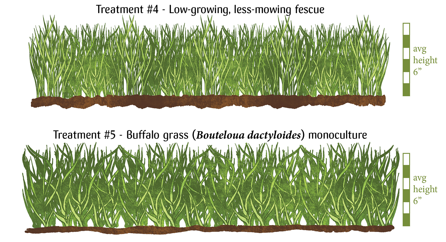 """Image: Treatment #4 - Low growing, less mowing fescue. A thinner, denser grass that averages at 6"""" Treatment #5 - buffalo grass (bouteloua dactyloides) monoculture. A chunkier, denser, bluer grass averaging 6"""" height."""