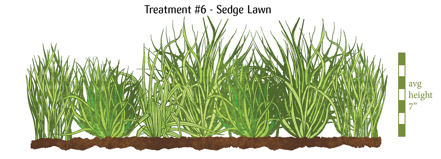 Image: Treatment #6 Sedge Lawn. A variety of grasses in a range of greens and thicknesses. Average heights around 7 inches